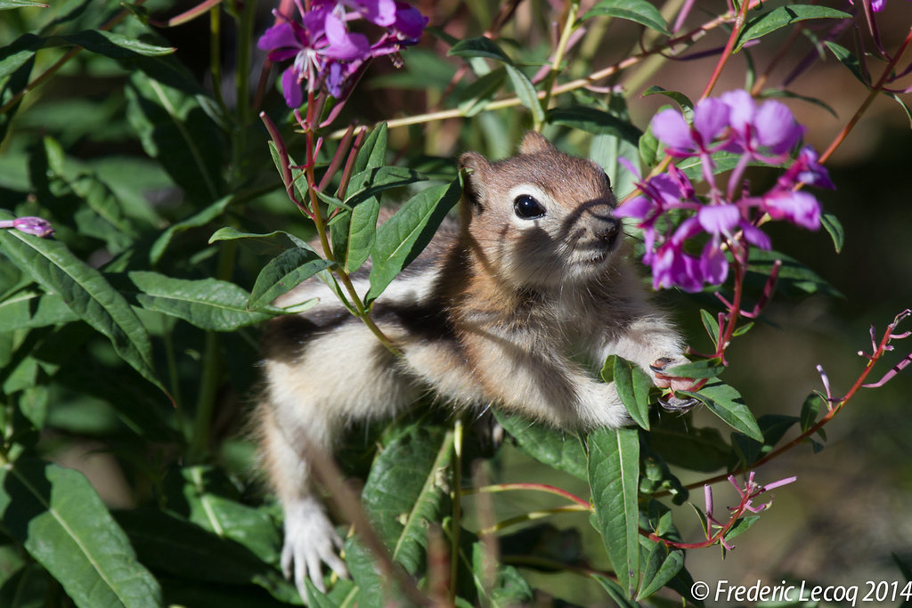 golden mantled ground squirrel/spermophile