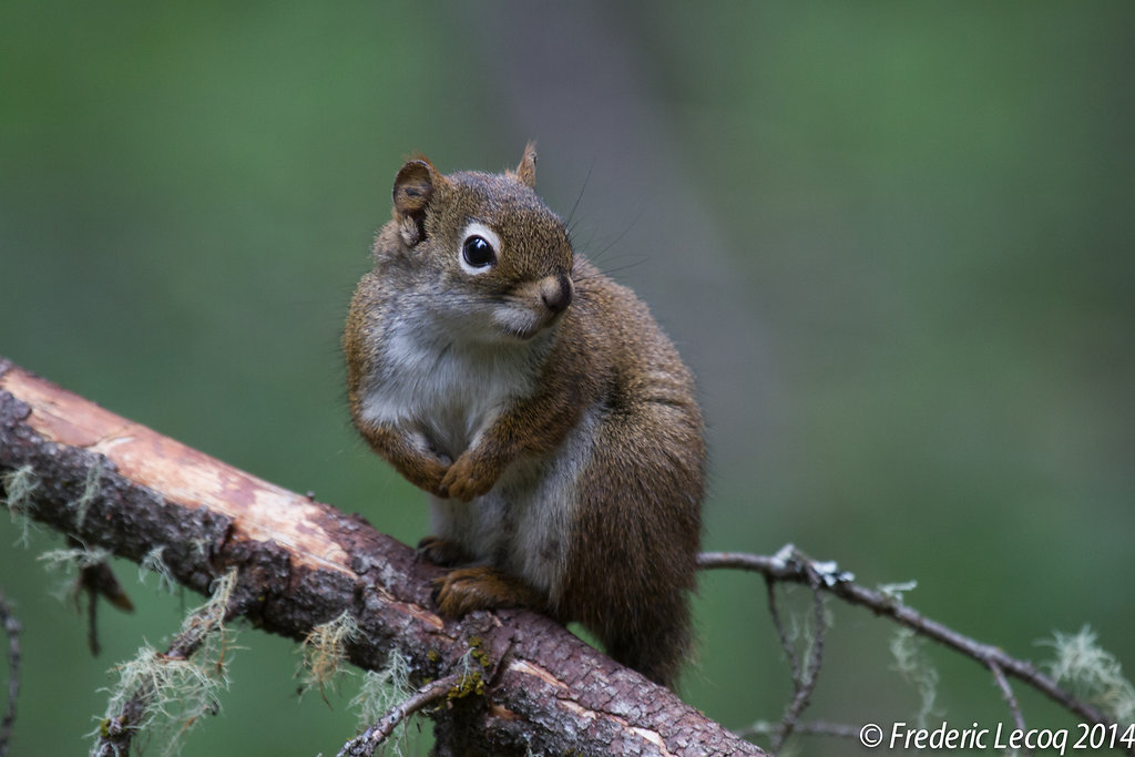 red squirrel/ecureuil roux